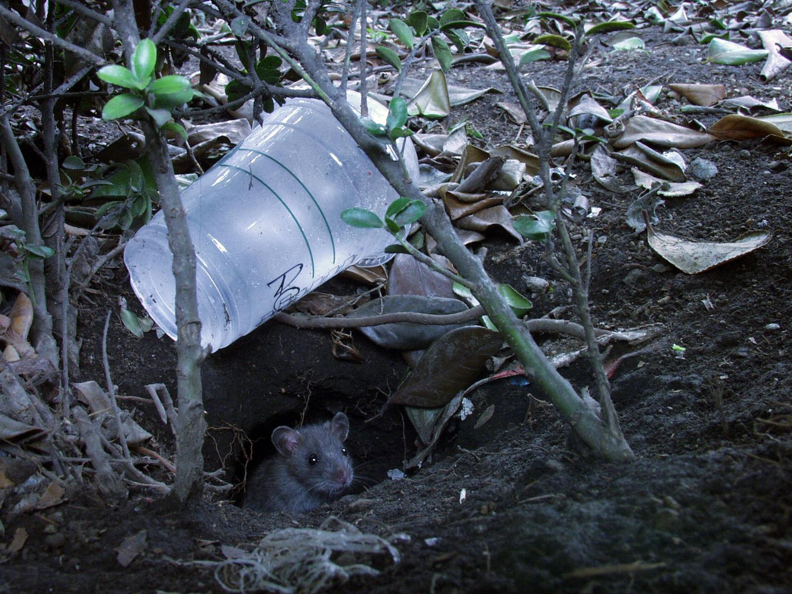 都会で暮らすクマネズミ。プラスチックカップが家の目印?