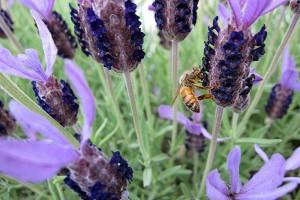 フレンチラベンダーにミツバチ